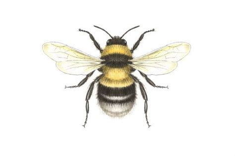 bumble bee drawing - Google Search | Things I love | Pinterest | 곤충 및 동물